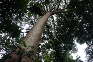 Beautiful native tree outside Kuranda